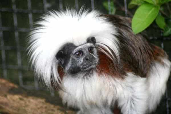 Cotton Tamarin Monkey Birthday Party