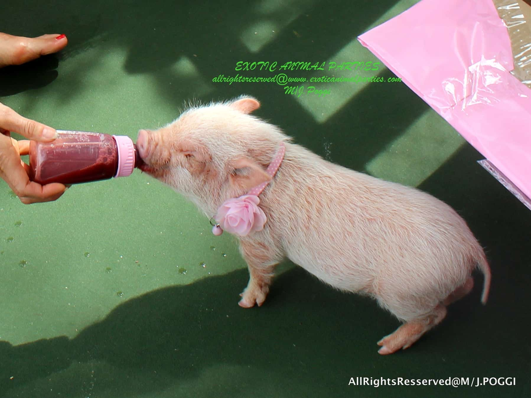 Mini Pig - Exotic Animal Party