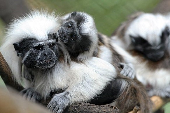 Cottontop Tamarin Monkey Party